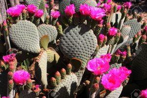 847892-nopal-en-flor-con-flores-de-color-rosa-brillante-foto-de-archivo